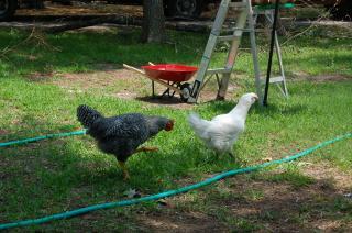 http://www.backyardchickens.com/forum/uploads/22179_dsc00012.jpg