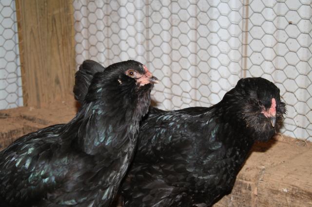 Easter Egger - Wikipedia