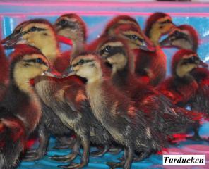 22319_baby_ducks1.jpg