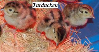 22319_pheasant_baby1.jpg