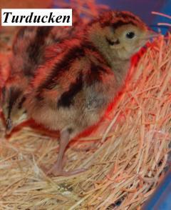 22319_pheasant_baby2.jpg