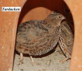 22319_quail25.jpg