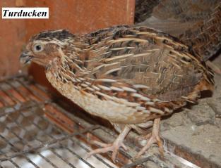 22319_quail3.jpg