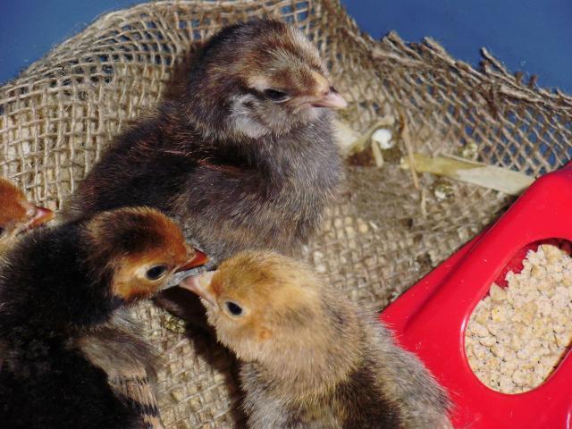 22366_new_chicks.jpg