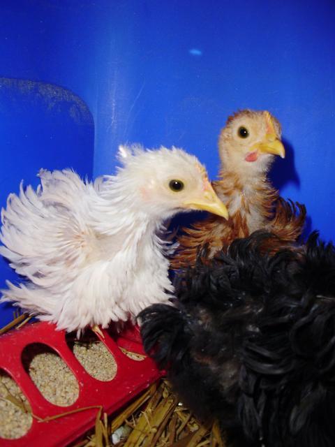 22366_new_chicks_3.jpg