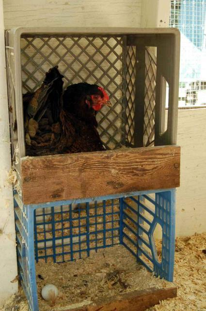 Nest Boxes In The Run Milk Crates