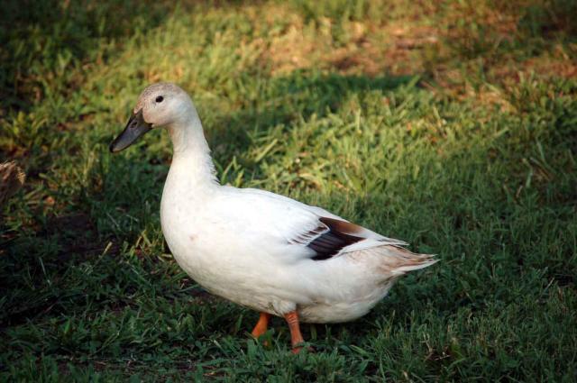http://www.backyardchickens.com/forum/uploads/22798_isabelle_4_mo.jpg