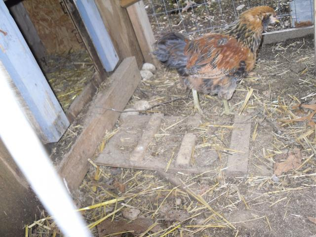 http://www.backyardchickens.com/forum/uploads/23004_chickenkelly_pictures_002.jpg