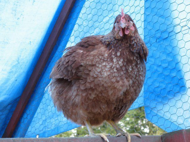 http://www.backyardchickens.com/forum/uploads/230_poof_lazy_small_800.jpg