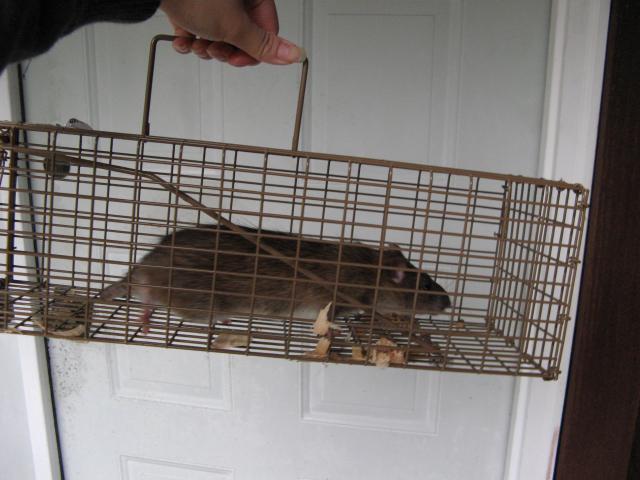 http://www.backyardchickens.com/forum/uploads/230_rat.jpg