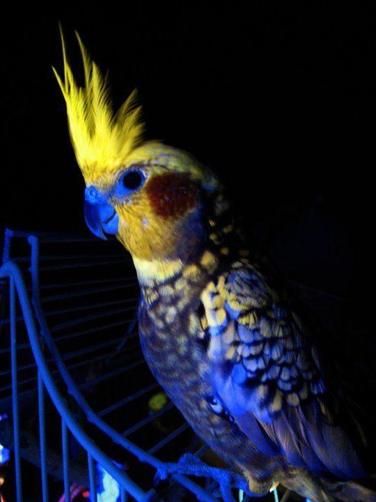 Cockatiel colors - photo#28