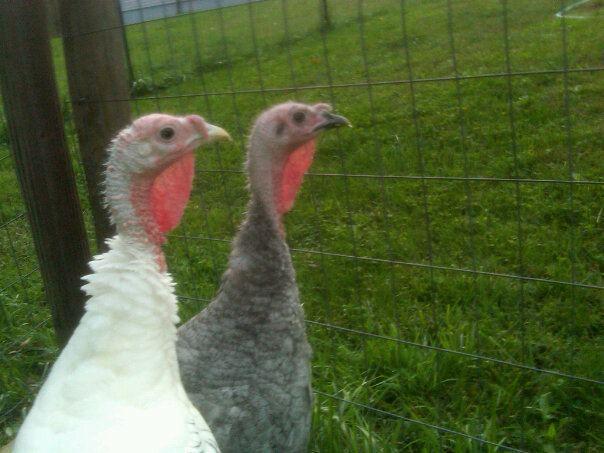 http://www.backyardchickens.com/forum/uploads/23665_turkeyprofile.jpg