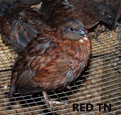 http://www.backyardchickens.com/forum/uploads/23920_red3.jpg