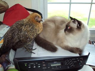 http://www.backyardchickens.com/forum/uploads/24038_dsc00252.jpg