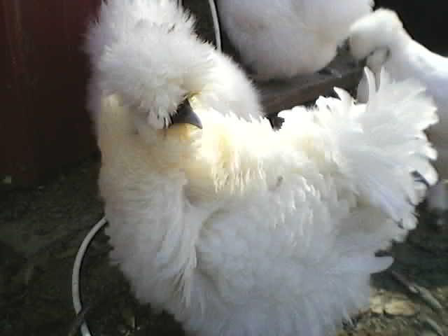 http://www.backyardchickens.com/forum/uploads/24309_pricilla.jpg