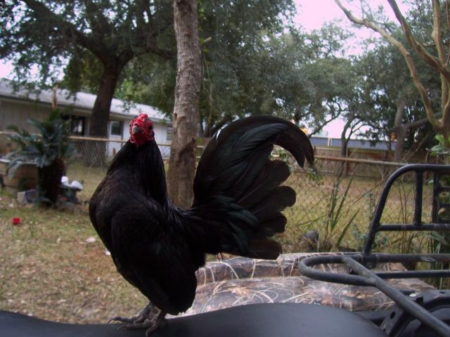 http://www.backyardchickens.com/forum/uploads/24629_100_2391.jpg