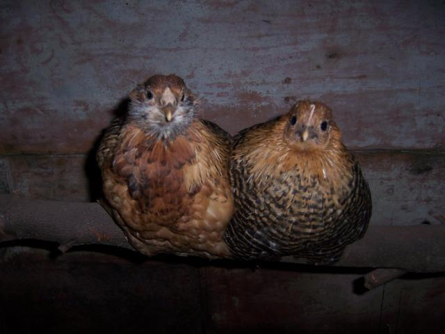 http://www.backyardchickens.com/forum/uploads/24751_100_8067.jpg