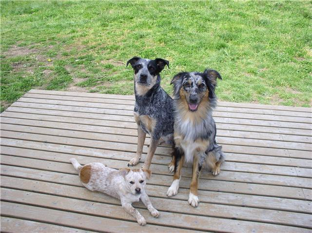 Border Collie Blue Heeler Mix