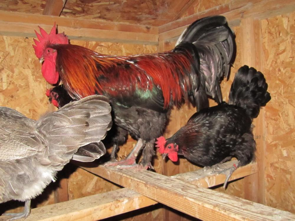 http://www.backyardchickens.com/forum/uploads/25108_053.jpg