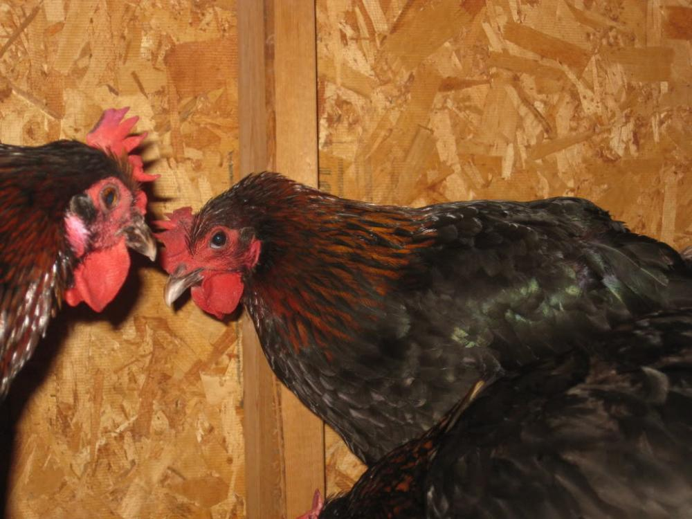 http://www.backyardchickens.com/forum/uploads/25108_084.jpg