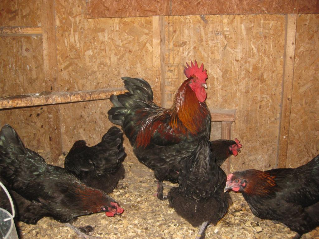 http://www.backyardchickens.com/forum/uploads/25108_202a.jpg