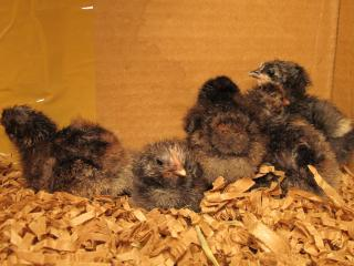 http://www.backyardchickens.com/forum/uploads/25153_black_java_chicks_005.jpg