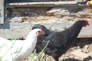 http://www.backyardchickens.com/forum/uploads/25153_java_hens.jpg