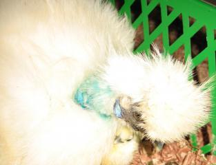 Silkie Broody Hen with First Chick