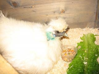 Silkie Broody Hen Gets Lunch In Bed
