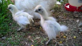 1 month old silkie chicks M5 1.16