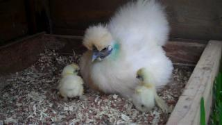 Silkie Chick - 1 week old - I have Wings!