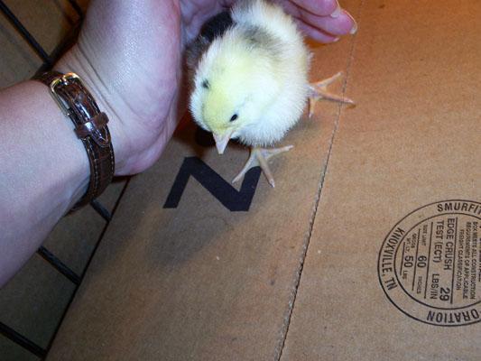 25978_chicks_day0113.jpg