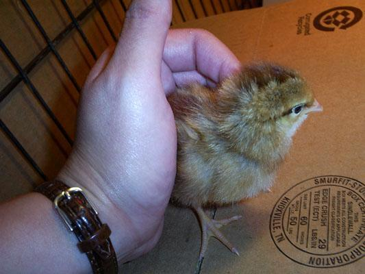 http://www.backyardchickens.com/forum/uploads/25978_chicks_day0116.jpg