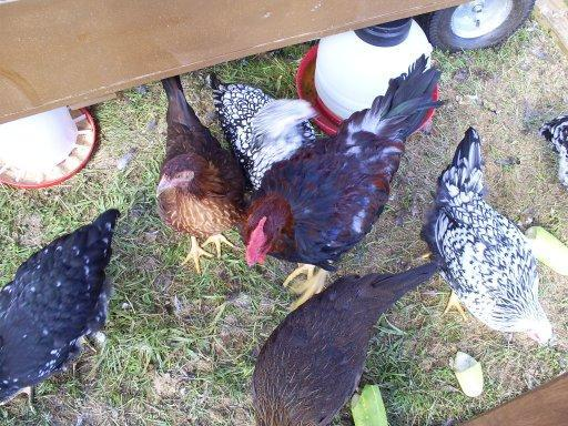 http://www.backyardchickens.com/forum/uploads/25978_s5030680.jpg