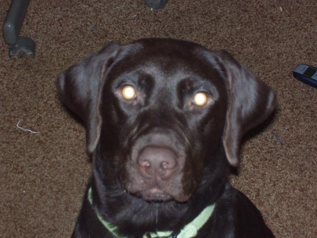 The gallery for --> American Vs English Chocolate Lab