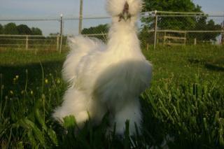 http://www.backyardchickens.com/forum/uploads/26449_dsc01115_sm.jpg