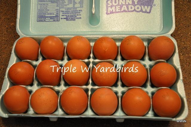 27455_barnevelder_eggs.jpg