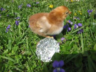 27597_new_chicks_076.jpg