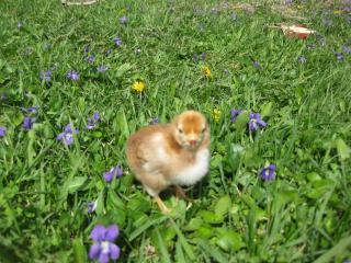27597_new_chicks_078.jpg