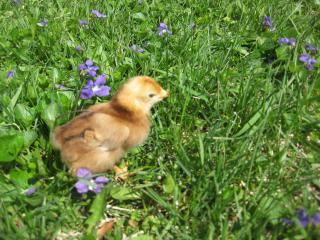 27597_new_chicks_081.jpg