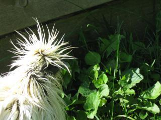 http://www.backyardchickens.com/forum/uploads/27597_summer_2009_289.jpg