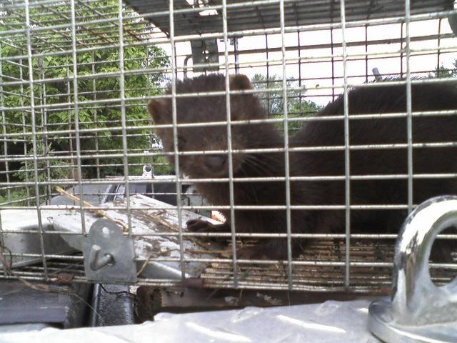 Weasel Or Mink