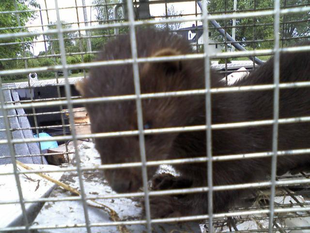 http://www.backyardchickens.com/forum/uploads/2787_weasel_011.jpg