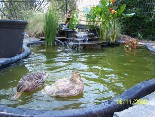 Creative Pond Ideas Backyard Chickens