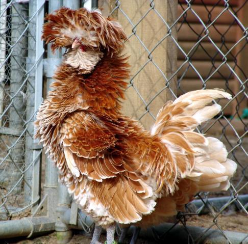 http://www.backyardchickens.com/forum/uploads/28234_buff_laced_roo.jpg