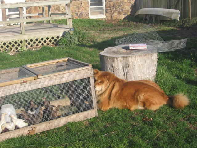 http://www.backyardchickens.com/forum/uploads/28411_watch_dog.jpg