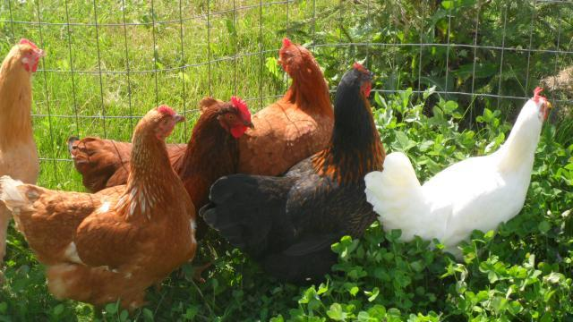 http://www.backyardchickens.com/forum/uploads/28412_sam_0200.jpg