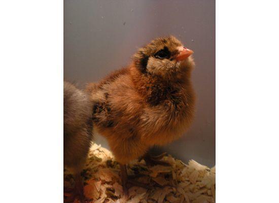 http://www.backyardchickens.com/forum/uploads/28423_ry3d4001.jpg