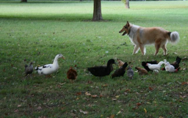 http://www.backyardchickens.com/forum/uploads/28480_farmdog.jpg