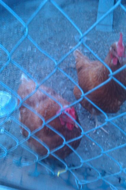 http://www.backyardchickens.com/forum/uploads/29172_imag0526.jpg